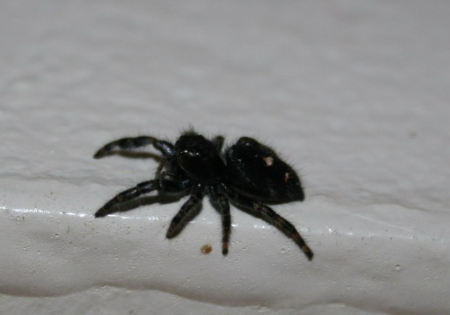 ©2012 Musings of the Amusing Muse - A crazy, cute Christmas Spider