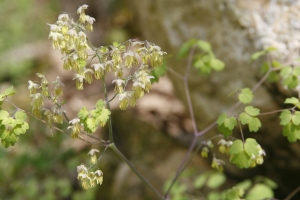 Early Meadow Rue, Thalictrum dioicum
