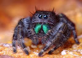 My, what green chelicerae you have. Phidippus audax.