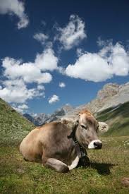 This is a Brown Swiss.  In Switzerland.