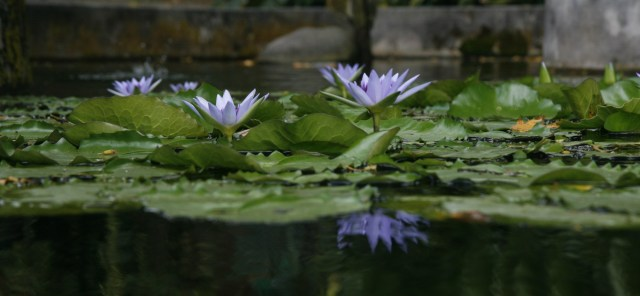 Water Lily pond at Les Jardins de Valombreuse.